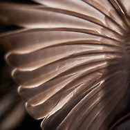Detail of the wing feathers of a small finch, against a black background<br />