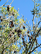 Flying foxes hang in trees near Lismore, NSW, Australia; likely Black Flying Foxes, Pteropus alecto.