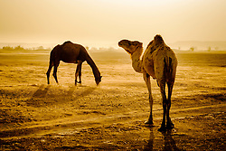 Camels in the Moroccan Sahara Desert in the early morning<br /> <br /> (c) Andrew Wilson | Edinburgh Elite media