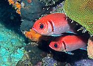 Blackbar Soldierfish - Myripristis jacobus