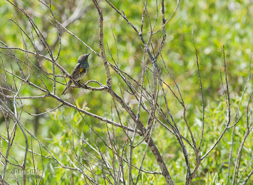 Audubon's warbler (yellow-rumped warbler), Dendroica coronata. Wildrose Canyon, Death Valley National Park, California
