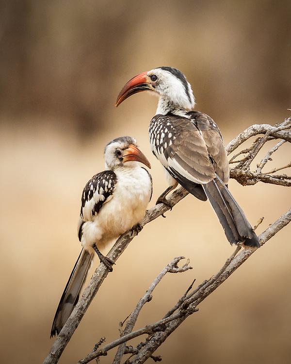 Tockus rufirostris, South Africa