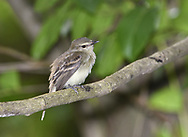 Fuscous Flycatcher - Cnemotriccus fuscatus