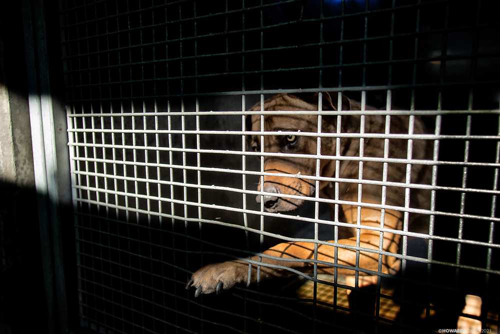 An abandoned and unwanted pit bull reaches through the bent wires of his cage.