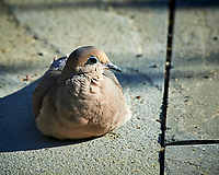 Mourning Dove. Image taken with a Nikon D4 camera and 600 mm f/4 VR lens