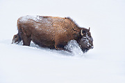 An American bison (Bison bison) forces its way through deep snow near Fountain Flat in Yellowstone National Park, Wyoming. Bison are well equipped for harsh winter conditions. They grow a winter coat of woolly underfur, which has coarse hairs that protect them from the elements. The humps on their backs also contain muscles supported by long vertebrae that help swing their heads to move vast amounts of snow.