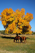 Two Beautiful Horses Grazing In The Meadow