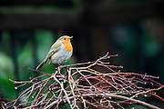 A European robin (Erithacus rubecula) stands on a branch in a garden. It is also known as a robin or robin redbreast in the UK.
