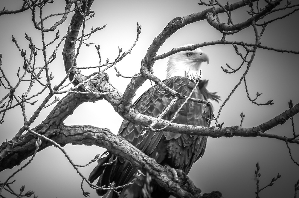 I saw this adult eagle perched in a tree looking over the Mississippi river just before sunset.  Both of us had a beautiful view that day.