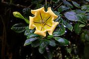 Cup of Gold, Garden of Eden, botanical garden, Hana Coast,