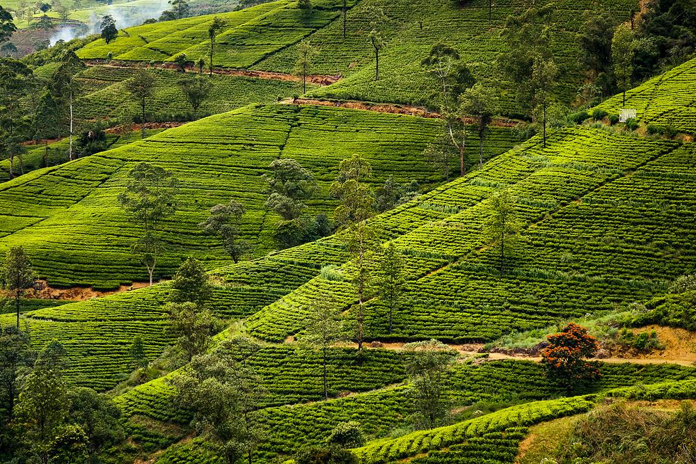 Sri Lanka landscape photography. Tea plantation near Nuwara Eliya.