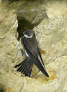 Sand Martin Riparia riparia L 12cm. Typically seen hawking for insects over water, sometimes even picking them off surface. Sexes are similar. Adult has sandy brown upperparts and mainly white underparts with brown breast band. Tail is short and forked. Juvenile is similar but has pale margins to back feathers. Voice Utters range of rasping twitters. Status Widespread summer visitor. Nests colonially, excavating burrows in sandy banks beside rivers and sand and gravel quarries.