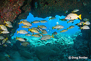 scuba divers approach lava arch with bluestripe snappers or ta'ape, Lutjanus kasmira, sheltering underneath, Golden Arches dive site, Kohanaiki ( Pine Trees ), Kona Coast, Hawaii, U.S.A. ( Central Pacific Ocean )