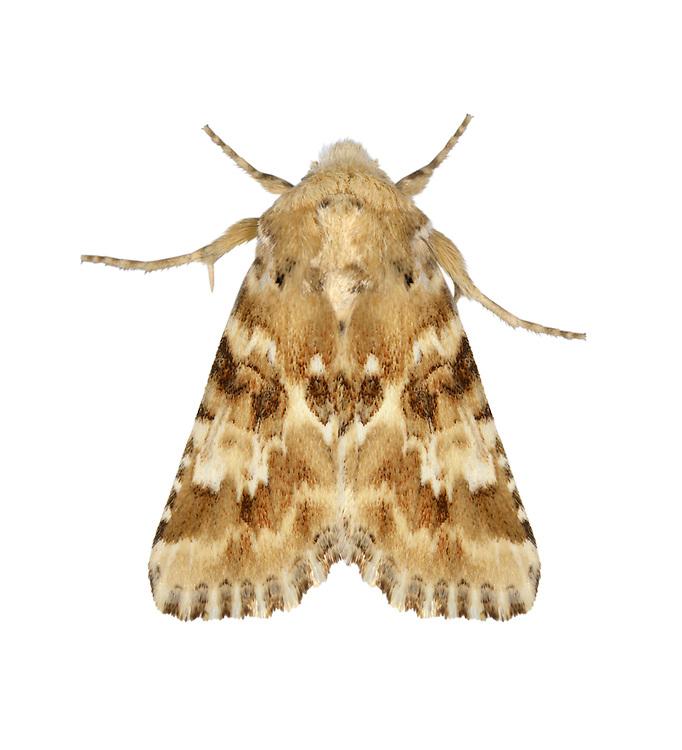 73.120 (2352)<br /> Dusky Sallow - Eremobia ochroleuca