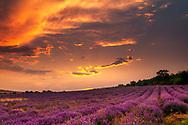 Smashing sunset with vioelt lavender field