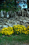 Countryside flagstone wall with boarder of buttercup yellow flowers.  England Cotswold