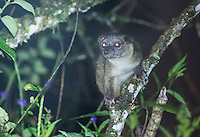 Olinguito, Bassaricyon neblina, a species whose discovery was announced in 2013. Olinguitos have existed in museum collections and zoos for decades, but were thought to be olingos (B. alleni or B. medius). DNA analysis was used to confirm that the olinguito is a separate species. Tandayapa Valley, Ecuador.