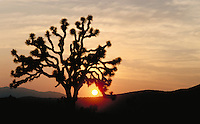 Joshua tree, Yucca brevifolia, at sunset in Joshua Tree National Park, California