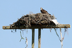 March 23, 2019 - Palm Harbor, FL, U.S. - PALM HARBOR, FL - MARCH 23: An osprey and it's nest sits atop a power pole during the third round of the Valspar Championship on March 23, 2019, at Westin Innisbrook-Copperhead Course in Palm Harbor, FL. (Photo by Cliff Welch/Icon Sportswire) (Credit Image: © Cliff Welch/Icon SMI via ZUMA Press)