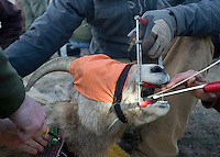 Once captured, several different samples are taken to gauge the health of the animals, which are fitted with a GPS collar before being released. The data is then analyzed to help evaluate the overall health of the herd.