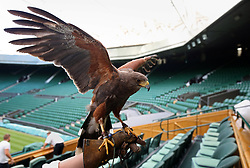 Rufus the Harris hawk, who is used to keep keep pigeons away from the tennis courts, on day two of the Wimbledon Championships at the All England Lawn Tennis and Croquet Club, Wimbledon.