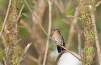 Female tyrian metal-tail, Metallura tyrianthina. Yanacocha Reserve, Ecuador