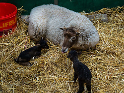 East Lothian, Scotland, United Kingdom. Shetland sheep lambs: Briggs Pure Bred Shetland Lambs maintain flocks in East Lothian and Shetland. Day 2 of lambs being born sees the arrival of a single lamb for one ewe and twins for another; all of them dark. Pictured: this ewe produced two lambs.<br /> Sally Anderson   EdinburghElitemedia.co.uk