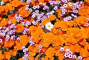 California Poppies, Davy Gilia, and White Woolly Daisy, Antelope Valley, California USA