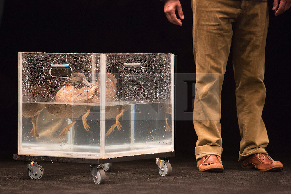 """© Licensed to London News Pictures. 24/10/2014. London, England. Pictured: Actor Richard Piper as Ekdal with a Duck called Deirdre. Belvoir Theatre from Sydney, Australia, present """"The Wild Duck"""" by Simon Stone and Chris Ryan after Henrik Ibsen from 23 October - 1 November 2014 at the Barbican Theatre, London. The play is part of the International Ibsen Season and is directed by Simon Stone. Photo credit: Bettina Strenske/LNP"""