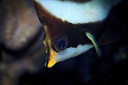 Heniochus chrysostomus (Pennant Bannerfish)