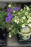 Verbena, Petunias