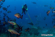 Gary Adkison tags a bull shark, Carcharhinus leucas, with a satellite pop-up tag at the Shark Reef Marine Reserve <br /> Beqa Passage, Viti Levu, Fiji   ( South Pacific Ocean ) MR 330
