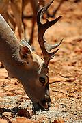 Israel, Carmel mountain Hai-Bar (Wildlife Preserve) Nature Reserve, close up of a fallow deer Dama dama