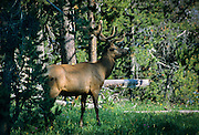 A bull rocky mountain elk (Cervus canadensis nelsoni) in a forest thicket. Yellowstone National Park, Montana.