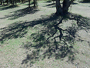 shadow of olive trees
