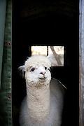 Alpacas at Sauk Creek Alpacas are seen in Oregon, Wisconsin on May 3, 2011. Lynne Johnson owns the farm.