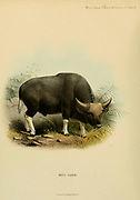 Bull Gaval colour illustration From the book ' Wild oxen, sheep & goats of all lands, living and extinct ' by Richard Lydekker (1849-1915) Published in 1898 by Rowland Ward, London
