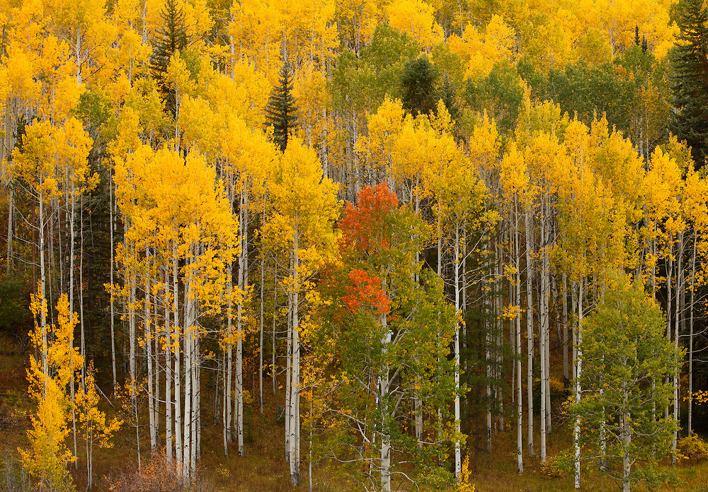 QUAKING ASPEN FOREST, AUTUMN, SAN MIGUEL COUNTY, COLORADO
