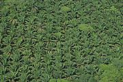 African Palm Oil (Elaeis sp.)<br /> GUYANA<br /> South America