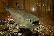 Fish on display at the Fairbanks Museum & Planetarium