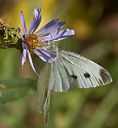 A white butterfly with black spots (order Lepidoptera) sucks nector from a blue aster flower, in Glacier National Park, Montana, USA. The aster, daisy, or sunflower family (Asteraceae or Compositae) is the largest family of vascular plants.