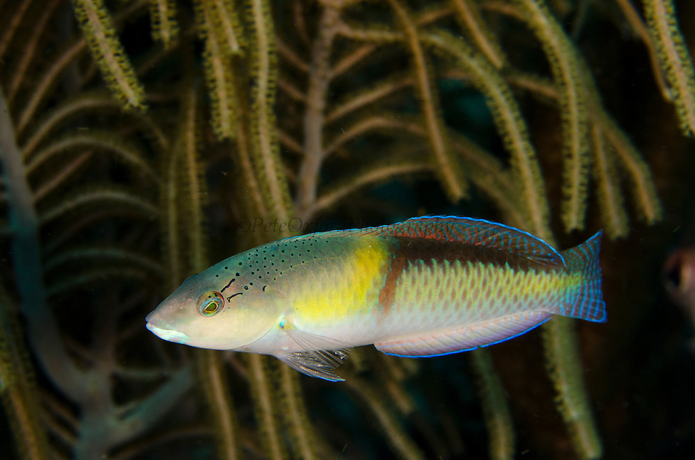 Yellowhead Wrasse (Halichoeres garnoti)<br /> BONAIRE, Netherlands Antilles, Caribbean<br /> HABITAT & DISTRIBUTION: Constantly swims above reef.<br /> Florida, Bahamas, Caribbean, Gulf of Mexico & Bermuda.