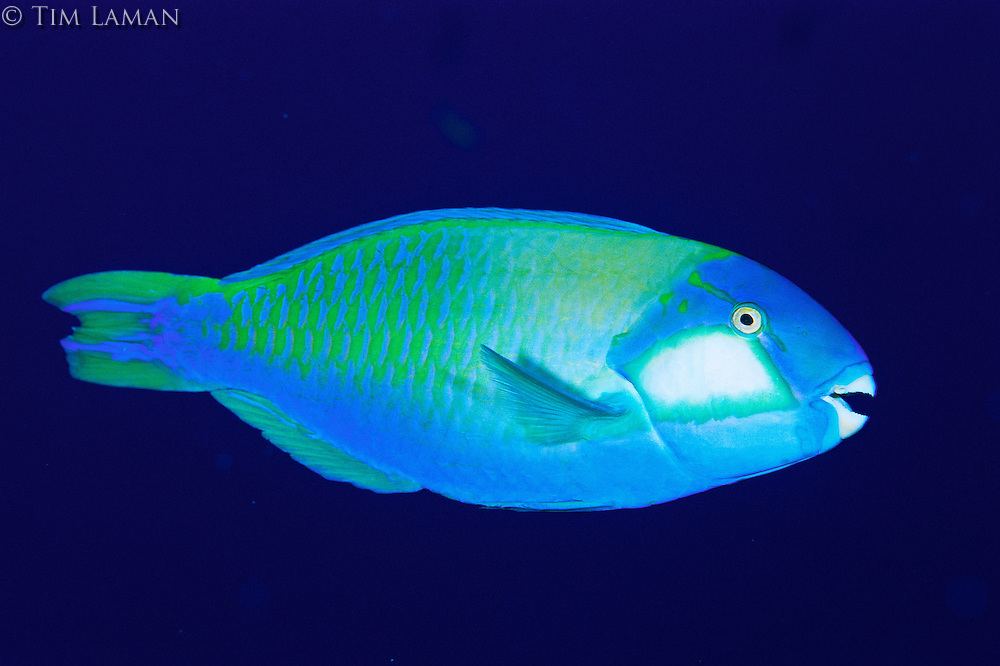 Bleeker's parrotfish against a black background.