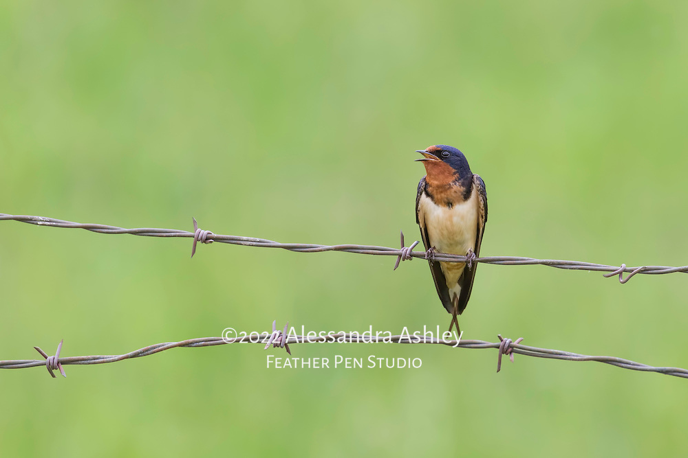 Barn swallow sings while perched on wire fence in farm environment. Semifinalist, Denver Audubon Share the View 2016 competition.