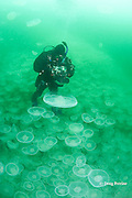 photographer Nathan Meadows seems to be standing on jellyfish swarm, but is actually free-floating in aggregation of moon jellies, Aurelia labiata, Port Fidalgo, Alaska ( Prince William Sound ),  MR 422