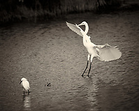 Great Egret Coming in to Visit a Snowy Egret. Merritt Island National Wildlife Refuge in Florida. Image taken with a Nikon Df camera and 300 mm f/4G lens (ISO 140, 300 mm, f/4, 1/1250 sec). Raw image processed and converted to B&W with Capture One Pro 7.