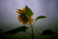 Back side of a Sunflower from my bedroom window on a foggy morning. Image taken with a Leica TL2 camera and 35 mm f/1.4 lens (ISO 100, 35 mm, f/1.4, 1/200 sec).