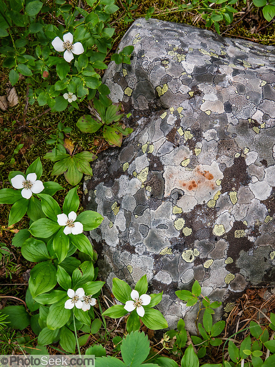 Bunchberry flowers (or Dwarf Dogwood; Cornus canadensis) grow near lichen polygons on a rock. Boom Lake Trail, Banff National Park, Alberta, Canada.