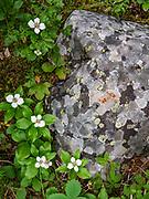 Bunchberry flowers (or Dwarf Dogwood; Cornus canadensis) grow near lichen polygons on a rock. Boom Lake Trail, Banff National Park, Alberta, Canada.