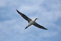 Gannet, Sula bassana; in the area of the Island of Mull; Scotland; June 2009<br /> Mission: Basking Sharks<br /> Location: Scotland, off the Island of Mull (Coll and Tiree Islands area)